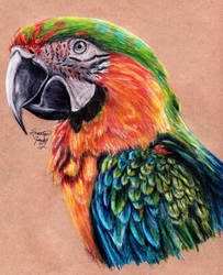 Catalina Macaw by KristynJanelle