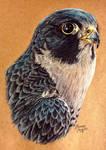 Peregrine Falcon by KristynJanelle