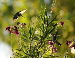 Hummingbird Dance by Pamela-Ball