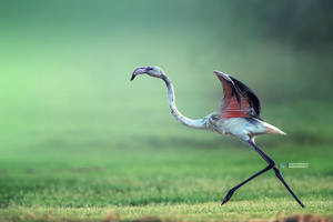 Flamingo by vinayan