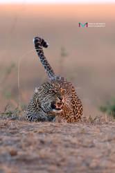 Leopard (sunset) by vinayan