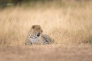Leopard by vinayan