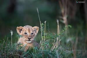 Lioncub by vinayan