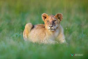 Simba by vinayan