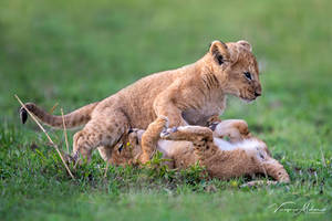 Lion Cubs by vinayan