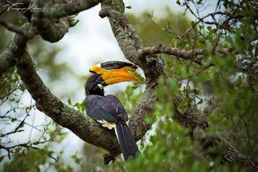 Hornbill by vinayan