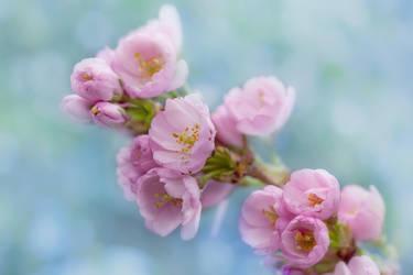 Japanese Cherryblossom by SarahharaS1