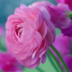 Ranunculus by SarahharaS1