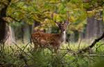 Fallow deer by Tinnuien