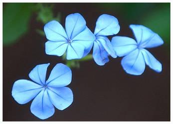 Blue Flowers by KellyManaghan