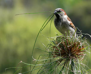 Sparrow Gathering Nest Materials by np4444