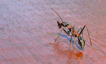 Austrlian Bulldog Ant by np4444