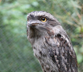 Tawny Frogmouth by np4444