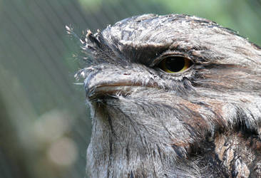 Tawny Frogmouth II by np4444