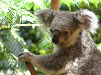 Koala by np4444