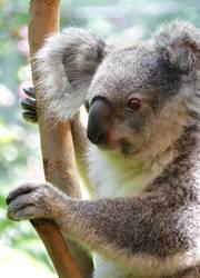 Koala II by np4444