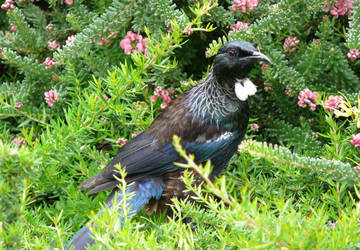 Tui drinking nectar on the ground by np4444