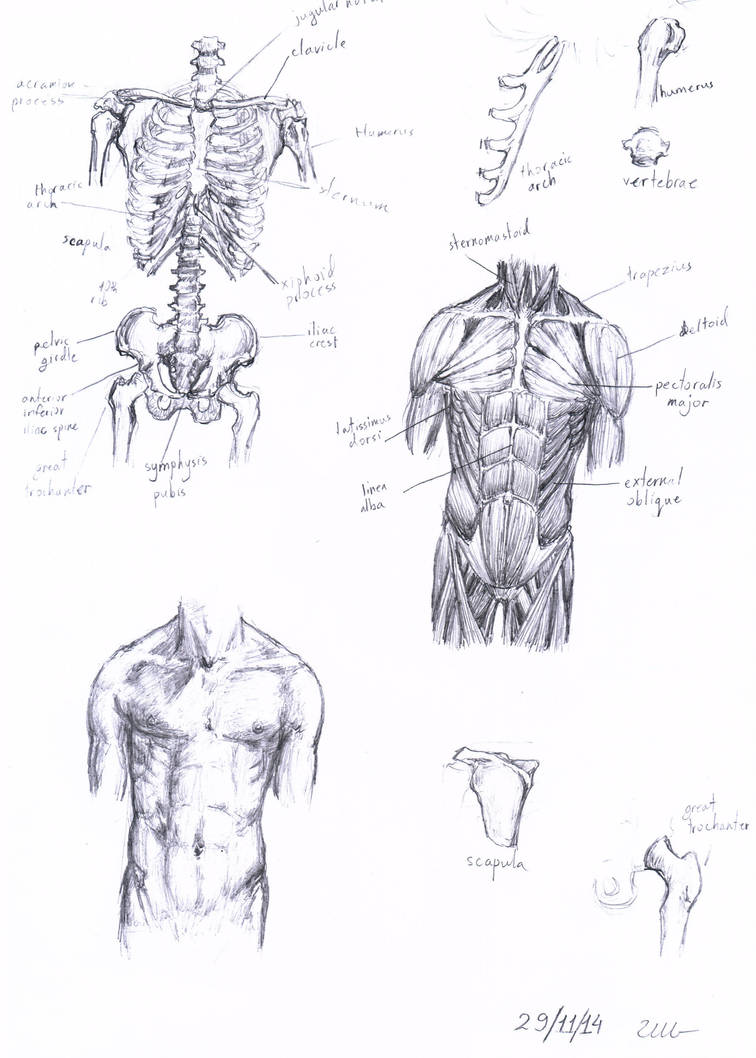 Human Anatomy Study Male Torso Front View By Peper Moth On