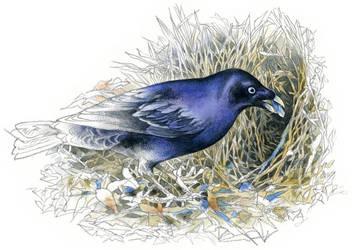 Satin Bowerbird by RobertMancini