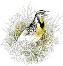 Eastern Meadowlark by RobertMancini