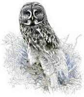 Great grey owl by RobertMancini