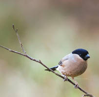 Female Bullfinch by KatiBear