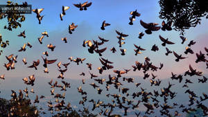 Pigeons in Flight by varunabhiram