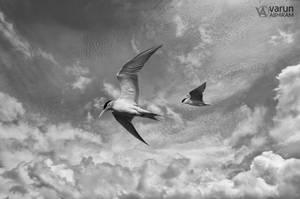 River Terns by varunabhiram