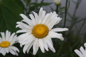Shasta Daisy by SarahCB1208