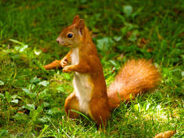 Standing Squirrel 16271714 by StockProject1
