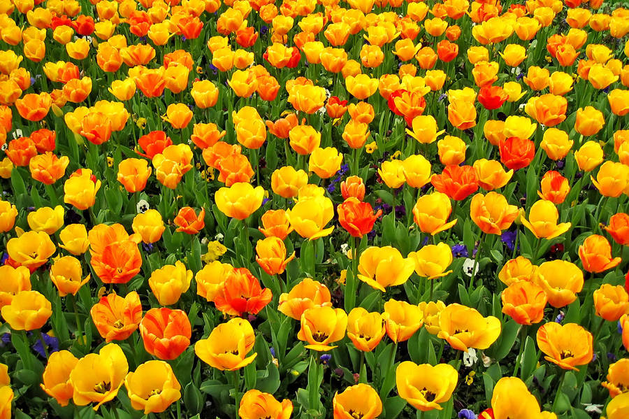 Tulip Field 467728 by StockProject1