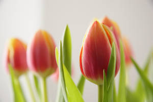Blossoming Tulips 12522737 by StockProject1