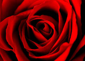 Lovely Rose 15713006 by StockProject1