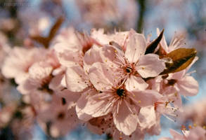Cherry Plum Blossoms IV by misanthropoly