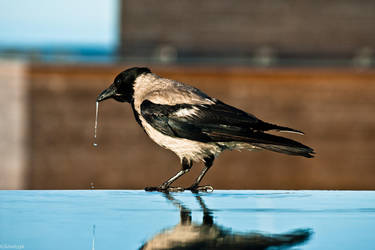 Corvus cornix by PaniPiorun