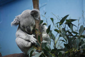 Koala by BluChickenNinja