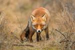 Cute little fox in the dunes by Aardbewoner