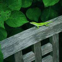Little Green Lizard by druideye