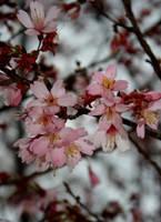 Blossom by druideye