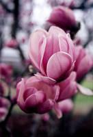 Pink Petals by druideye