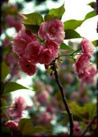 Pretty in Pink by druideye