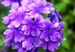 Purple Hearts by druideye