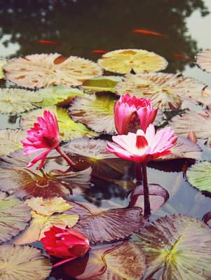 Lotus and Fish by druideye