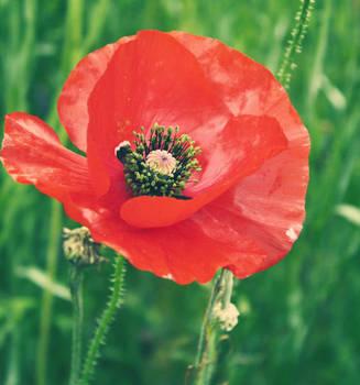 Poppy by druideye