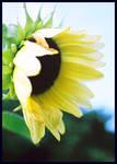 Sunflower by druideye