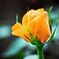 Rosa by MehranMo