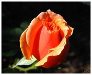 Rose by Alpha0mega