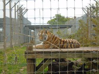 Tiger 001 by Vande-Bot