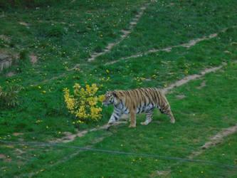 Tiger 004 by Vande-Bot