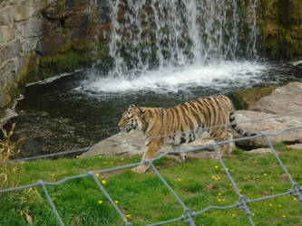 Tiger 005 by Vande-Bot